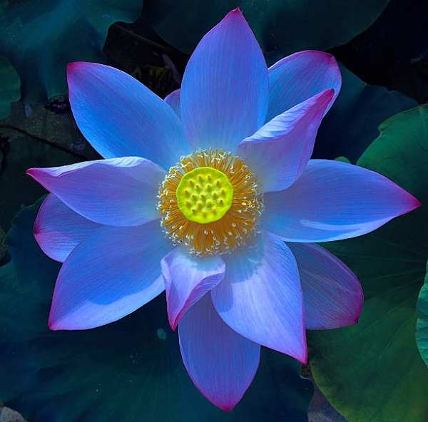 anh hoa sen xanh
