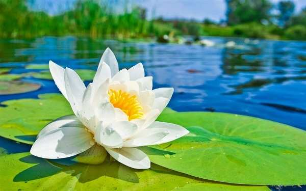 hoa sen trang nhi vang