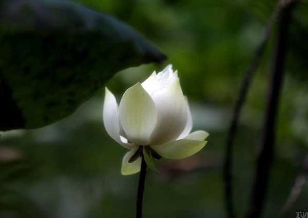 hoa sen mau trang