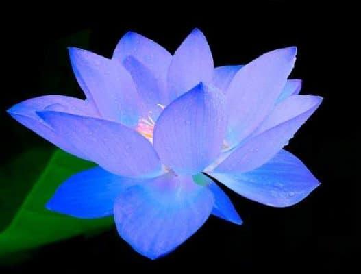 hoa sen xanh dep