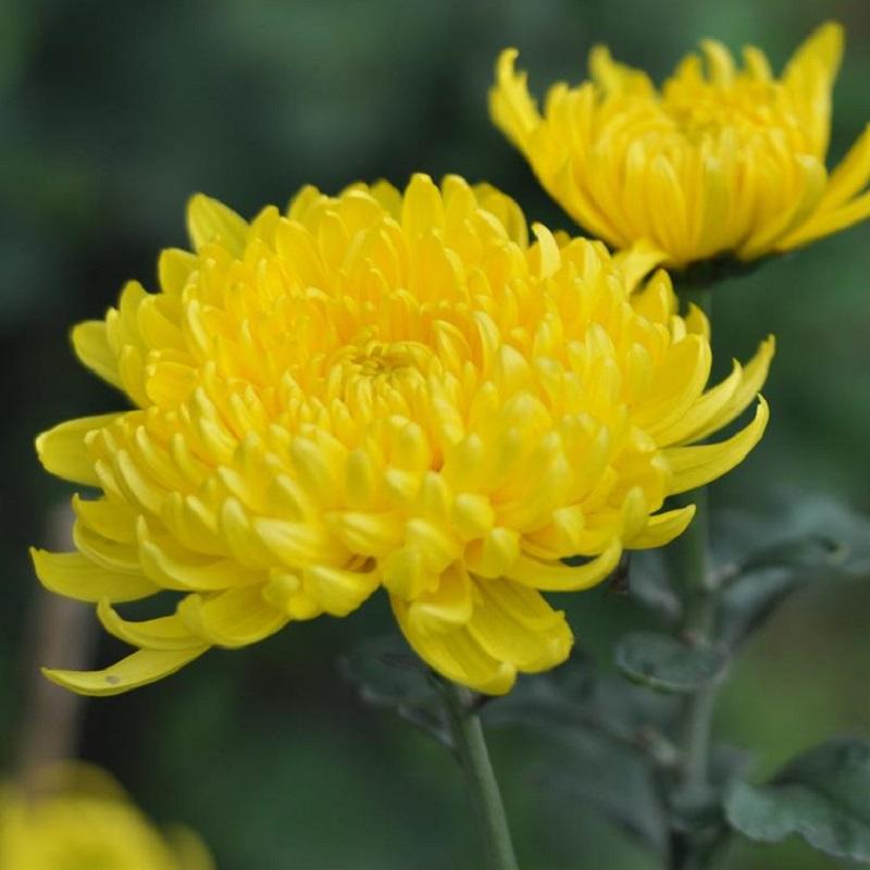 ý nghĩa hoa cúc vàng