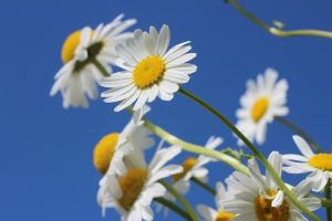 cuc hoa mi
